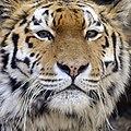 Dierenpark Emmen Portrait of a tiger (12638882865).jpg
