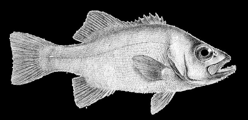 File:Dinoperca petersi (Day).png