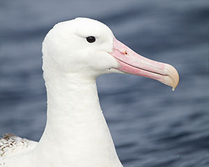 Albatross - Portrait of a southern royal albatross (Diomedea epomophora). Note the large, hooked beak and nasal tubes.