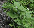 Diphylleia grayi (Mount Cho).JPG