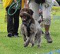 Dog enjoying flyball.jpg