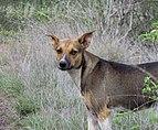Dog hybrid from Venezuela.jpg