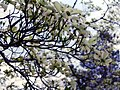 Dogwood tree in bloom.jpg