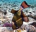 Drückerfisch.Giant Titan Triggerfish. DSCF6697BE.jpg