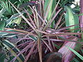 Dracaena broad leaved from lalbagh 2210.JPG