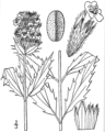 Dracocephalum parviflorum drawing 1.png