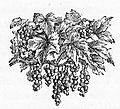 Drawing of Grapes on the Vine.jpg
