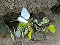Drinking Butterflies , 2 Van Someren's Green-banded Swallowtails (Papilio interjectana), 1 Small Striped Swordtail (Graphium policenes) and Pieridae - Flickr - berniedup.jpg