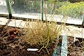 Drosera binata - Orto botanico - Rome, Italy - DSC09953.jpg