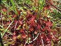 Drosera rotundifolia2.jpg
