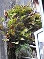 Drynaria quercifolia-1-aberdeen bazar-andaman-India.jpg
