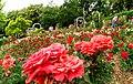 Duftende Schönheit, der Rosengarten im Kurpark Bad Mergentheim. 17.jpg