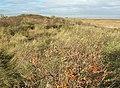 Dune vegetation - geograph.org.uk - 1077437.jpg
