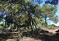 Dunes de Guardamar, bosc de pins.JPG
