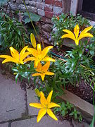 Dwarf Asian Lily Tiny Dessert.jpg