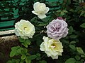 Dwarf Rose from Lalbagh flower show Aug 2013 8501.JPG