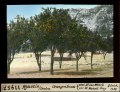 ETH-BIB-Ajaccio, Corsica, Orangenbaum-Dia 247-11957-1.tif