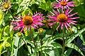 Echinacea purpurea 'Pica Bella' in Jardin des 5 sens (3).jpg