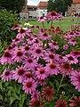 Echinacea purpurea Krakow.jpg