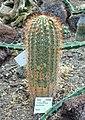 Echinopsis tarijensis (Trichocereus tarijensis) - Flora park - Cologne, Germany - DSC00781.jpg