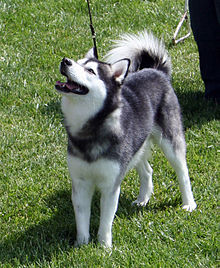 Image Result For Can Huskies Be