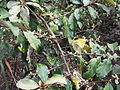 Elaeagnus conferta-3-yercaud-salem-India.JPG