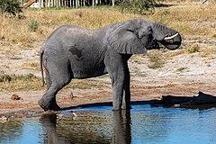 פיל סוואנה אפריקני