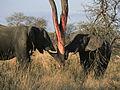 Elephants eating (Loxodonta Africana) (Kruger National Park, 2002) 02.jpg