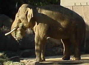 Elephas - Asian Elephant