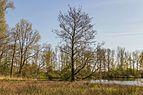 Els (Alnus) aan oever van Bekhofplas. Locatie, natuurterrein Beekdal Linde Bekhofplas 08.jpg
