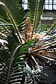 Encephalartos woodii Center.JPG