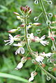 Enchanter's Nightshade (Circaea lutetiana) (4859651060).jpg