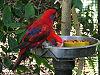 Eos semilarvata -San Diego Zoo-5