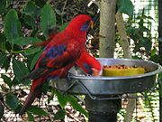 A red parrot with black eye-spots, a dark blue streak behind the eyes, and black wingtips and shoulders