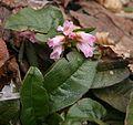 Epigaea asiatica.JPG
