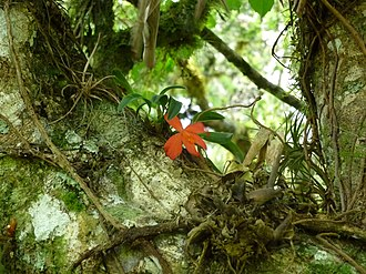 Epiphyte - An epiphytic orchid on a tree in a Brazilian cloud forest