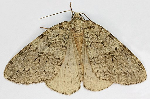Epirrita dilutata, November Moth, Trawscoed, North Wales, Oct 2015 2 - Flickr - janetgraham84
