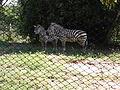 Equus quagga boehmi, Parque Zoológico de Sapucaia do Sul, Brazil.jpg