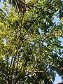 Ericales - Manilkara zapota - 6.jpg