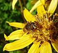 Eristalis sp. (tenax^) - Flickr - gailhampshire (1).jpg