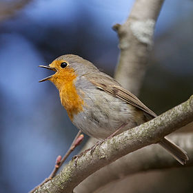 Erithacus rubecula -Norway -singing-8.jpg