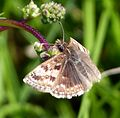 Erynnis tages. Dingy Skipper - Flickr - gailhampshire.jpg