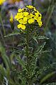 Erysimum Odoratum (Pannonicum).jpg
