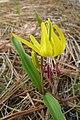 Erythronium grandiflorum ssp. grandiflorum with red anthers.jpg