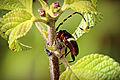 Escarabajo y hormiga coexistiendo - Beetle and ant coexisting..JPG