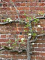 Espalier tree detail - geograph.org.uk - 776951.jpg
