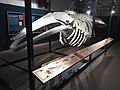 Esquelet de la balena de Mataró.jpg