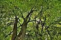 Estate Of Karpov (Alexander, Knyazev) Liubsha. Crowns of old lime trees.jpg