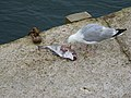 Etende meeuw, Looe, Cornwall.jpg