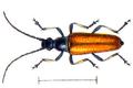Etorofus pubescens.png